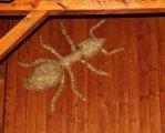 mravenec ze slámy